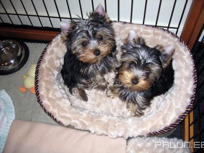Ostan-Lemmikloomad-Koerad
